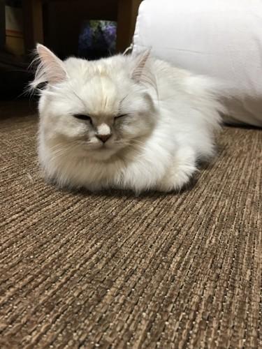 ホットカーペットで香箱座りをする猫
