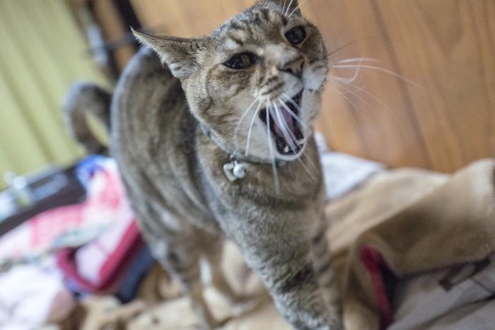大きく口を開けてあくびをする老猫