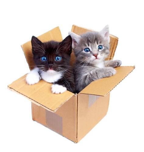 段ボール箱に入った二匹の子猫