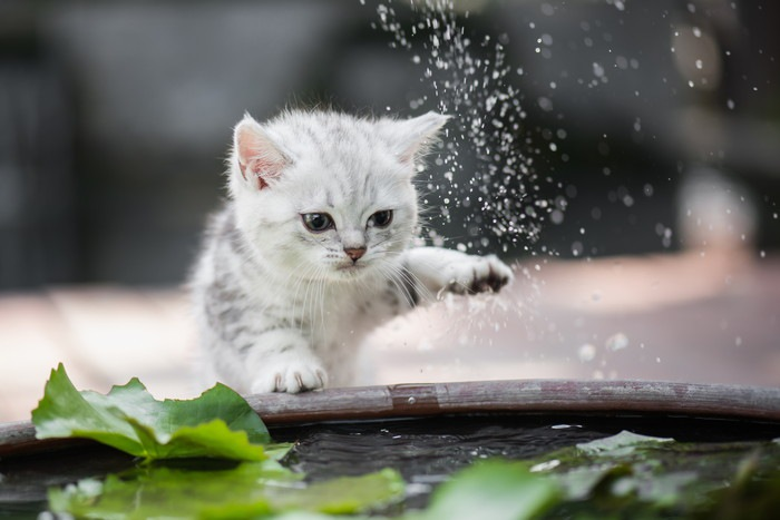 水と触れあう猫