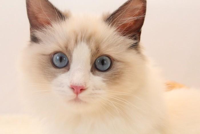 ブルーの瞳のラグドール