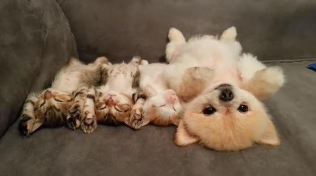 仰向けで眠る子猫と犬