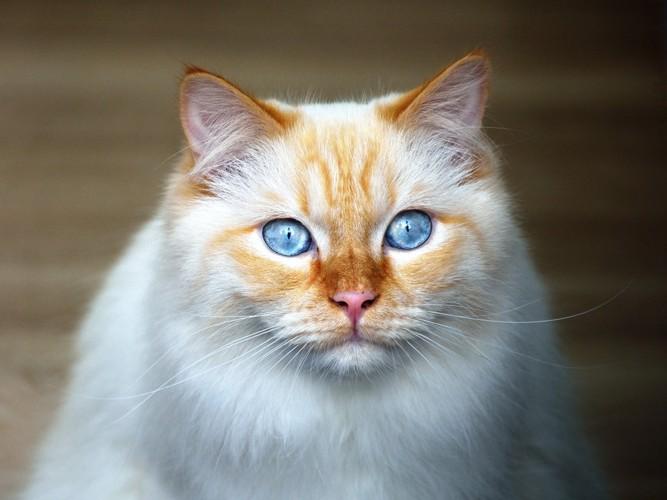 ブルーの猫の目