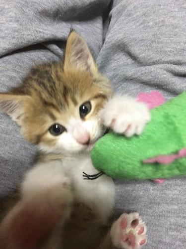 ぬいぐるみをくわえている子猫
