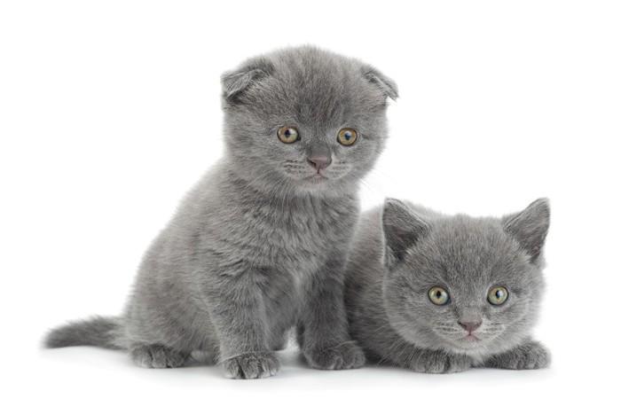 スコティッシュフォールドとストレートの子猫