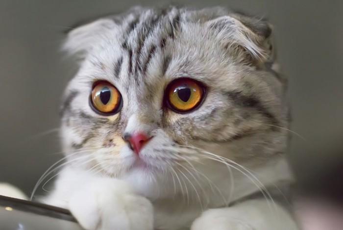 成猫スコティッシュフォールドの顔アップ