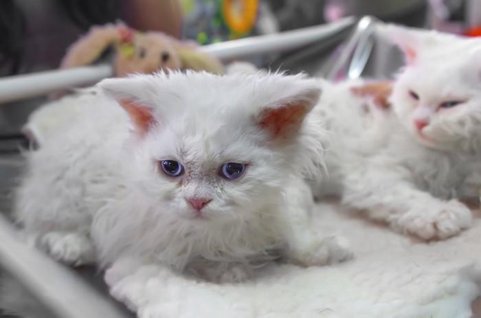 ターキッシュアンゴラの子猫