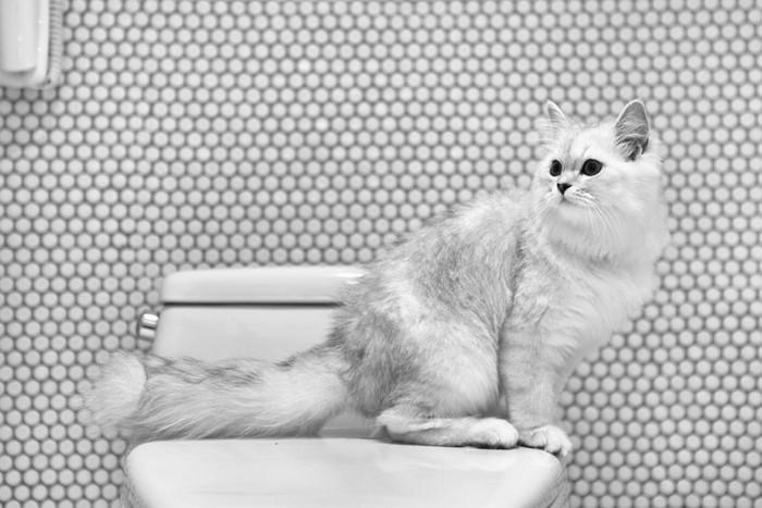 人のトイレに座る猫