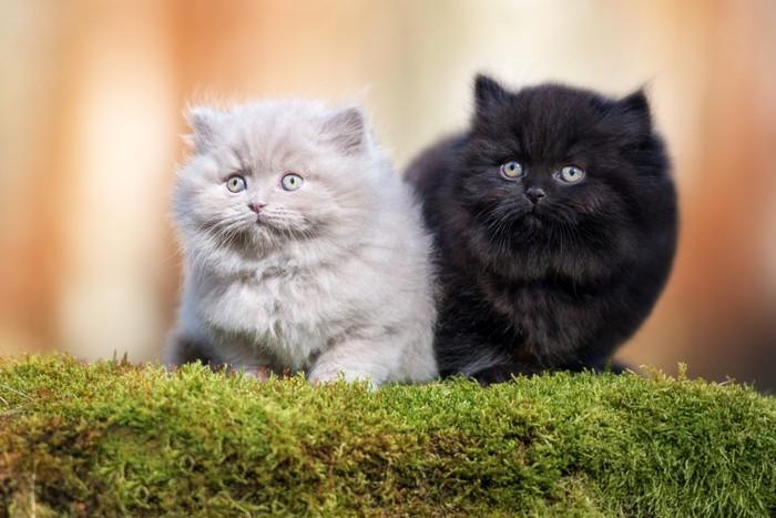 白と黒のブリティッシュロングヘア