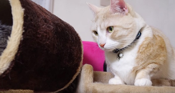 もう一回狙う茶トラ白猫