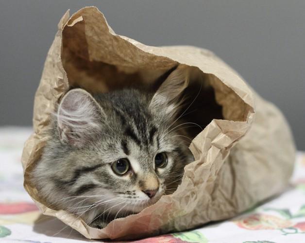 紙袋で遊ぶ猫