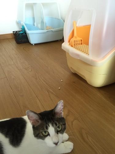 2つのトイレと散らかった猫砂