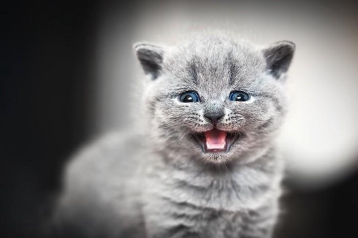 鳴いているグレーの子猫