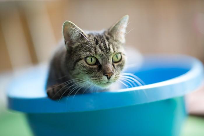 青色の桶に入る猫