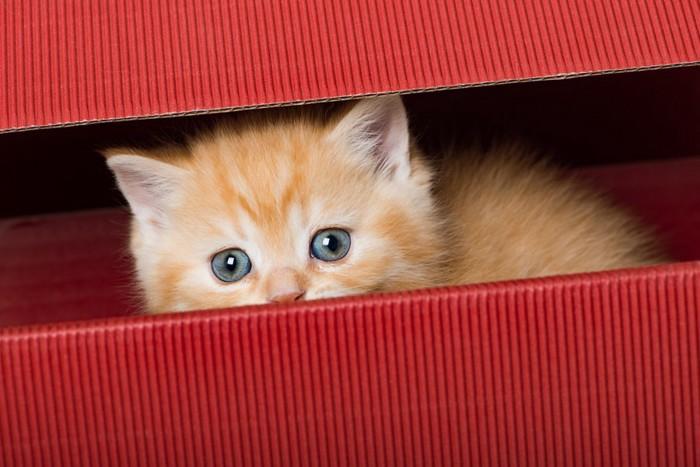 赤い段ボール箱から顔をのぞかせる子猫