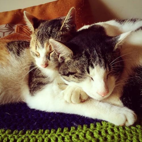 くっついて寝ている2匹の猫