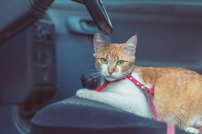 車の中でリードつけてしゃがんでいる猫