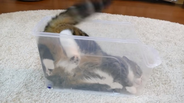 横になってプラケースに入る猫(横から撮影)