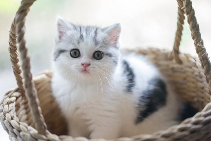 スコティッシュの子猫