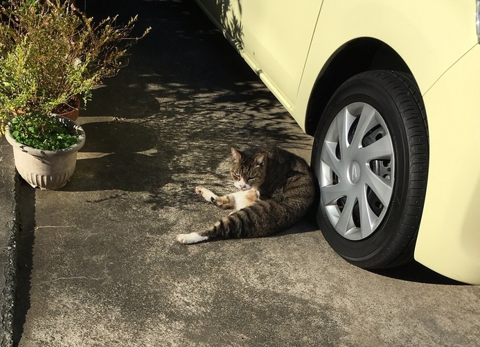 スコ座った猫