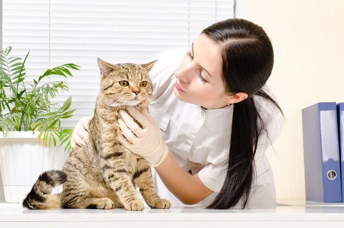 獣医に触診される猫