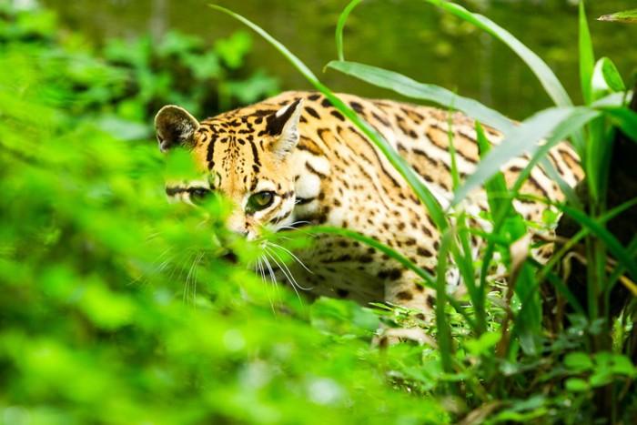 草の間から覗いているオセロット