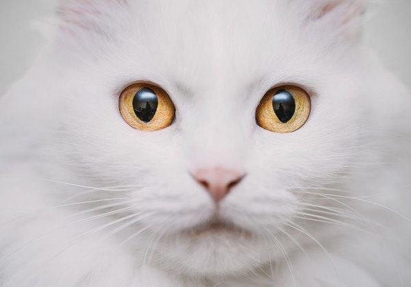 白猫の顔アップ