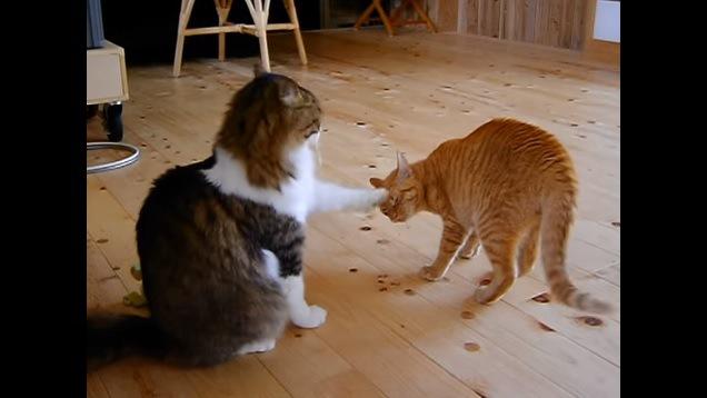額を叩かれる猫