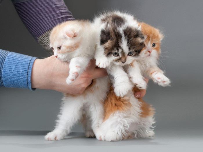 スコティッシュフォールド3匹の子猫