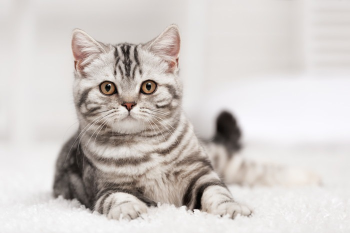 こちらをまっすぐ見ている猫
