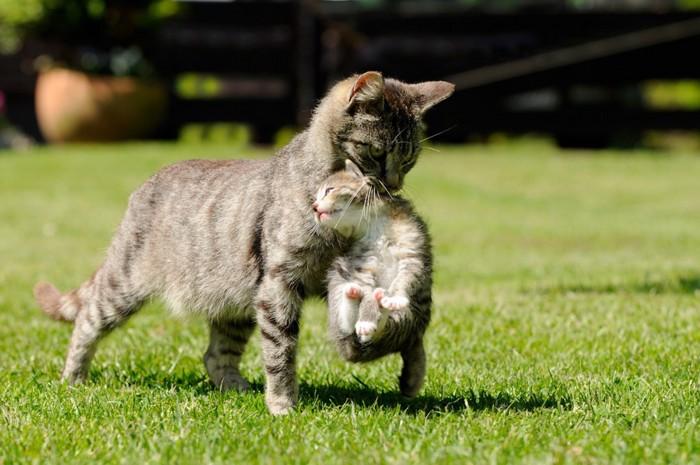 子猫をくわえている母猫