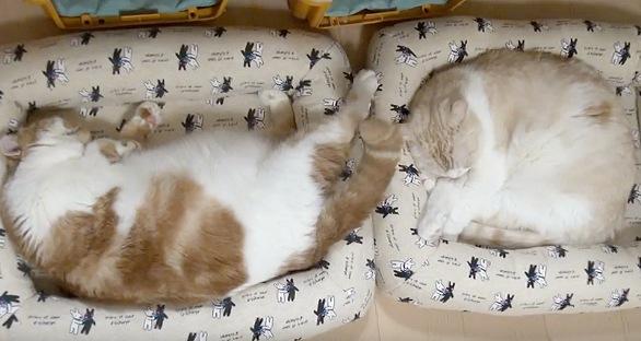 丸まって眠る2匹の猫