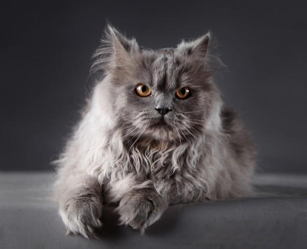 グレーのペルシャ猫