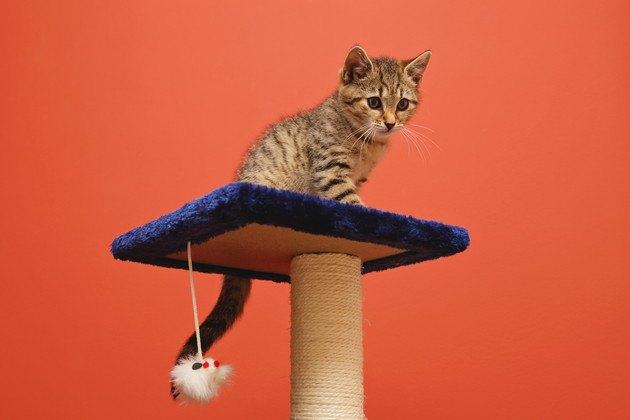 キャットタワーから下を見ている子猫