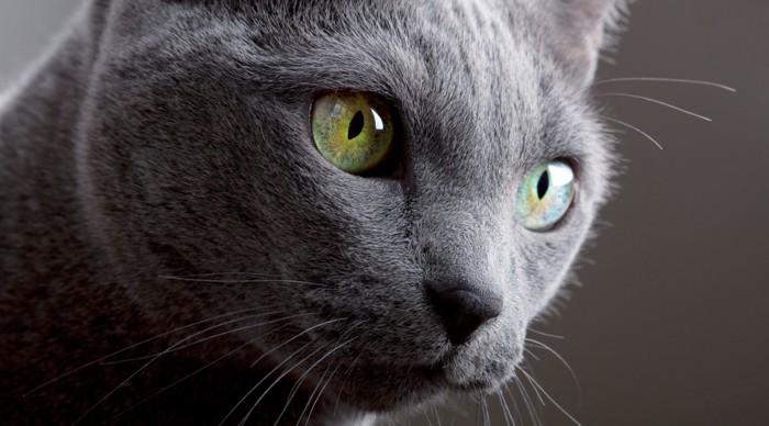 目の黄色いロシアンブルー