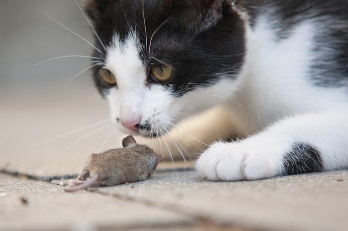 ネズミを持ち帰った猫