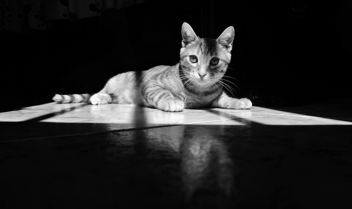 モノトーンの猫