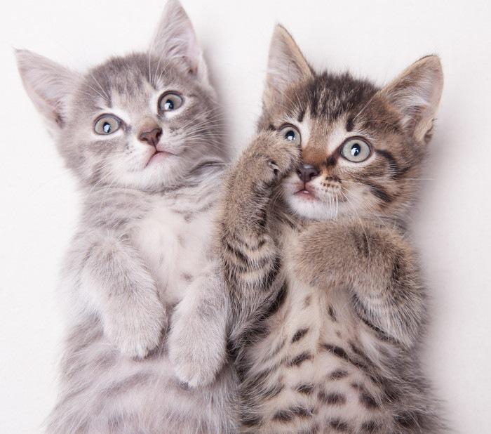 キジトラとサバトラの子猫