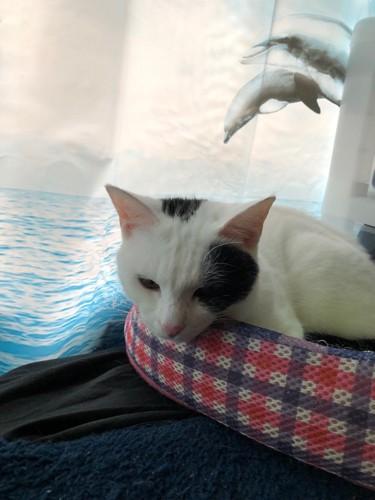 一匹でくつろぐ白黒ぶち猫