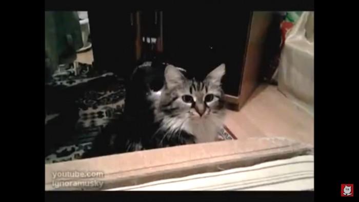 何かを見る猫