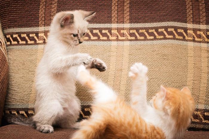 じゃれて遊ぶ兄弟猫