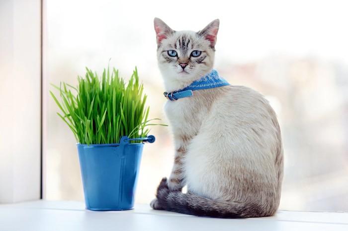 猫草の前に座る青い首輪の猫