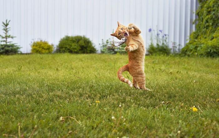 ジャンプをしてネズミを捕まえる猫