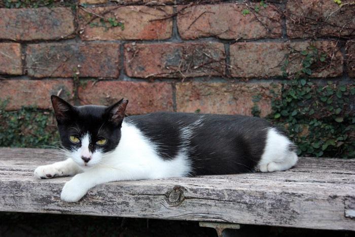 ベンチでくつろぐ白黒の猫