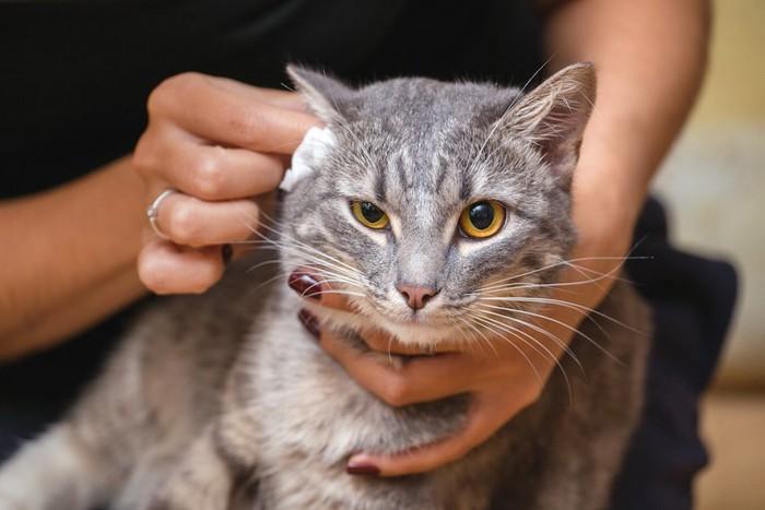 コットンで耳掃除をされている猫