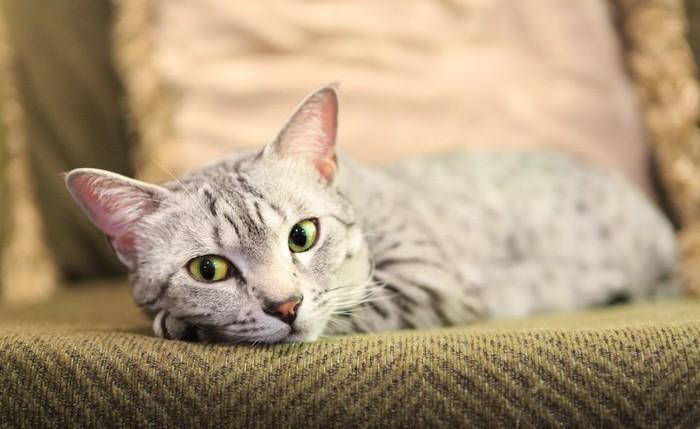 元気なさそうにソファーに座る猫