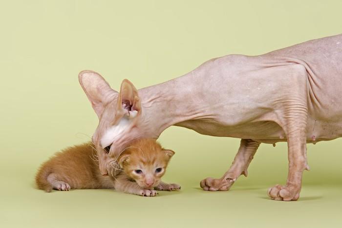 ピーターボールドの母猫と子猫