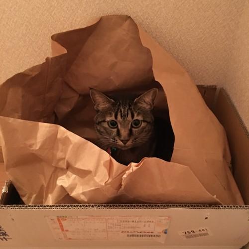 袋の中にいるキジ猫