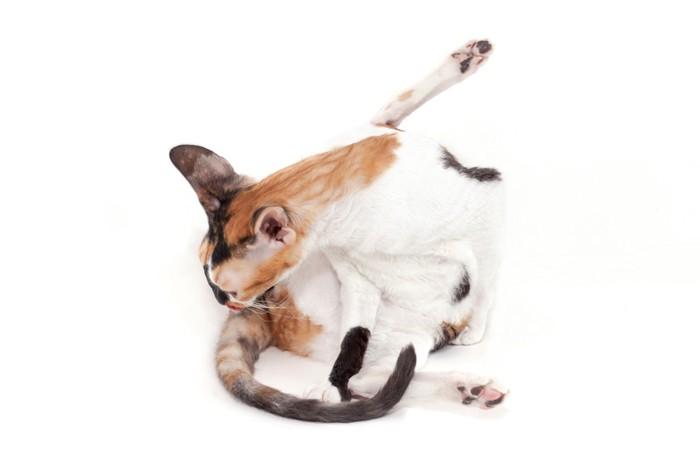 しっぽをなめる猫