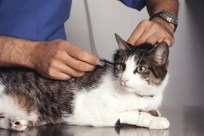 病院でワクチンを打たれている猫
